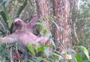 Bicho-preguiça é resgatado pela Guarda Civil de Cotia e solto na mata